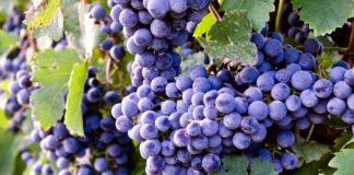 виноград в средней полосе