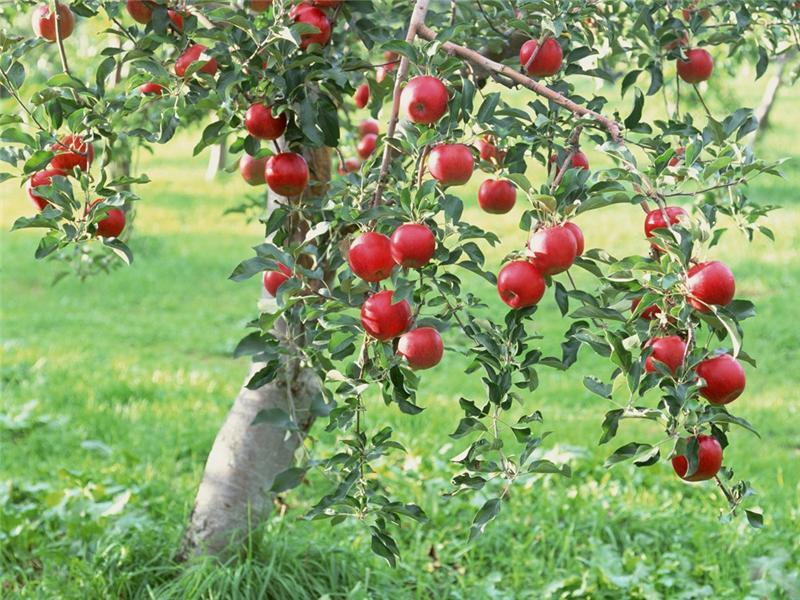 Что в плодовом саду необходимо сделать осенью, не откладывая до весны?