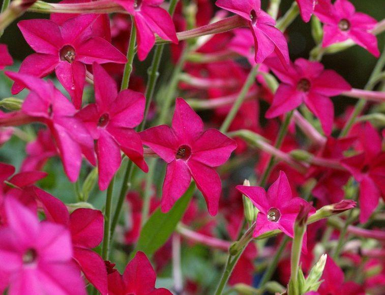 табак душистый выращивание из семян фото