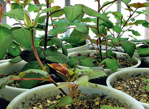 Выращивание розы из семян в домашних 917