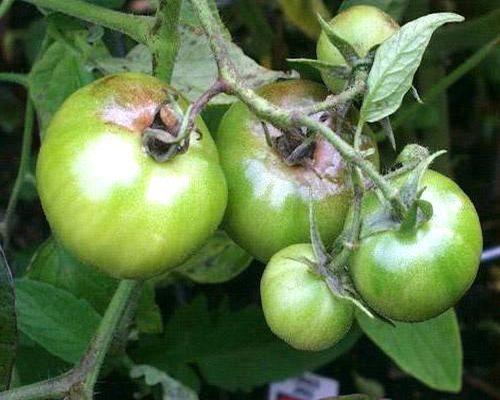 признаки фитофторы на томатах-3
