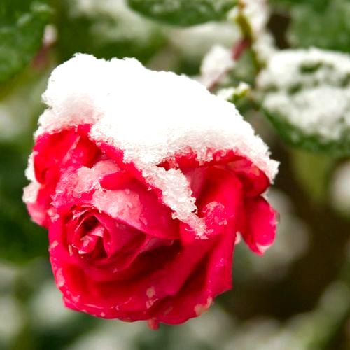 Укрытие и обрезка роз подготовка к зиме