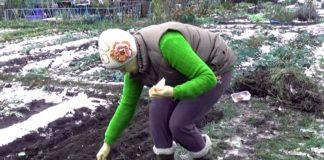 посев моркови под зиму