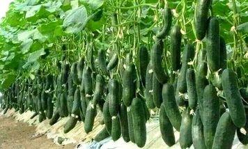 Урожайные сорта огурцов – новинки селекции