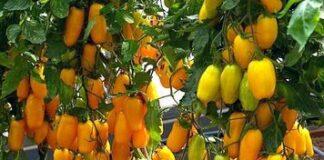 кистевые томаты
