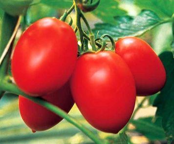 томат Бенито