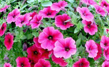 петунии в саду