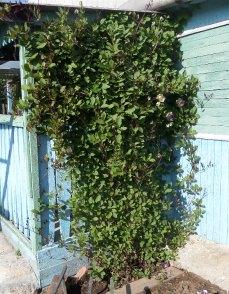 Вертикальное озеленение дачного участка