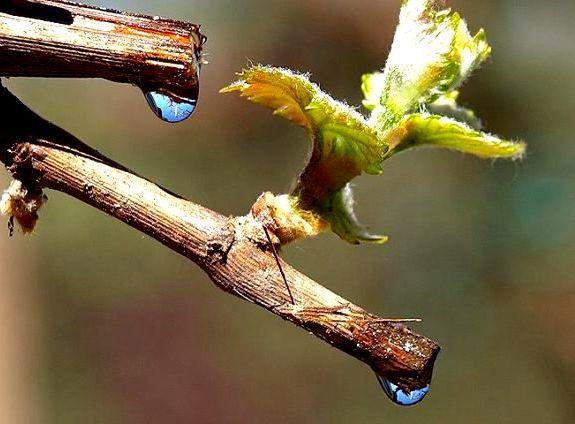 плачь виноградной лозы