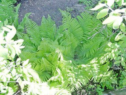 Выращивание папоротников в саду
