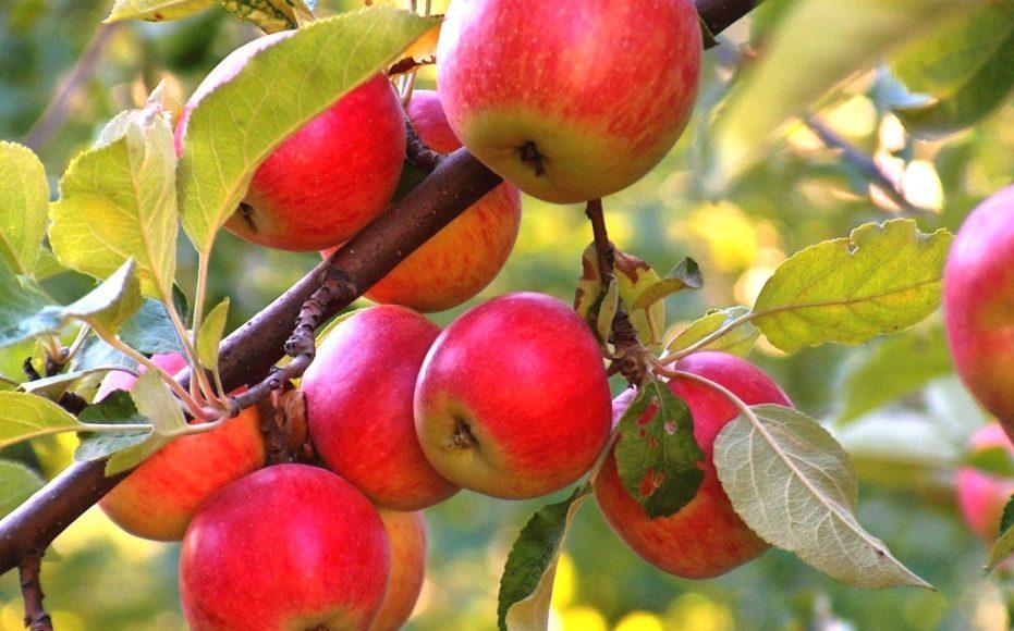 Яблоки виды и сорта яблок