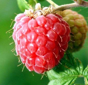 малина в саду ягодка