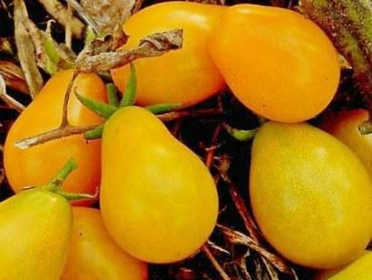 Мелкоплодные сорта томатов для открытого грунта