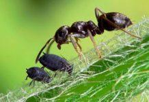 муравьи в саду