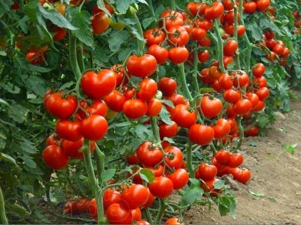 урожайность помидор
