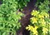 желтеет ботва картофеля