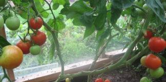 выращивание помидор дома