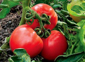первые подкормки томатов