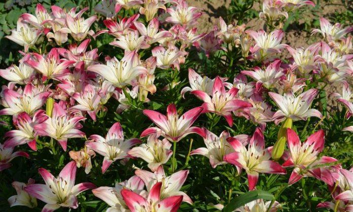 цветение лилий в саду