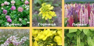 сидераты зеленое удобрение