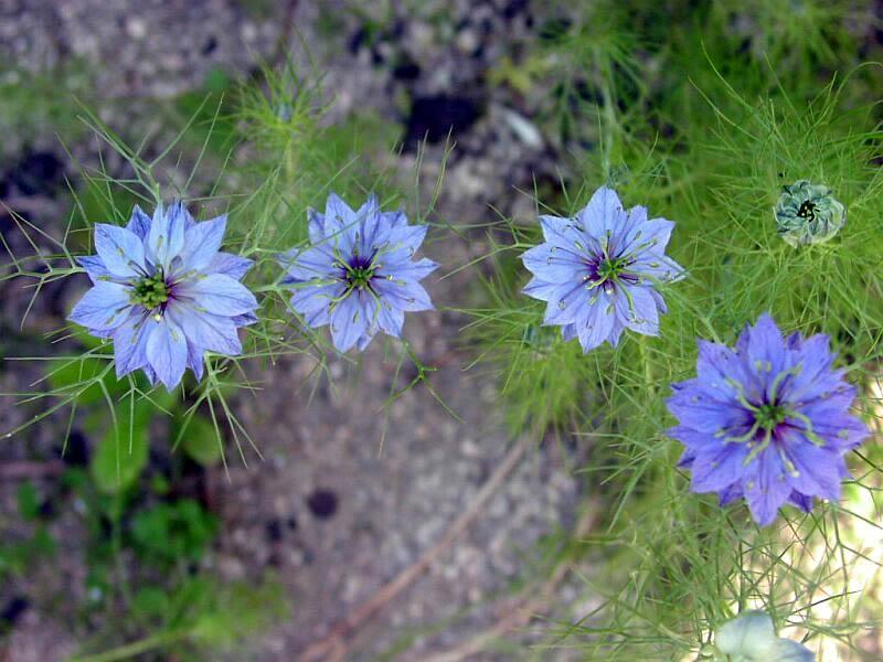 Нигелла выращивание из семян правила ухода описание сортов и видов