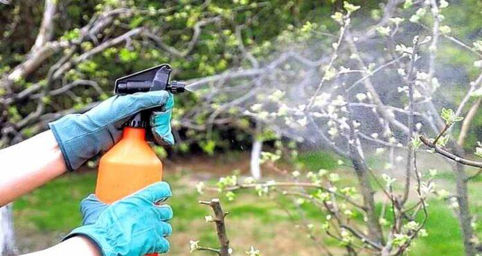 опрыскивание деревьев бордосской жидкостью