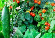 овощи для легкого выращивания