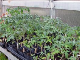 какие овощи выращивают рассадой