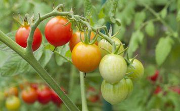 овощи рассадой-11