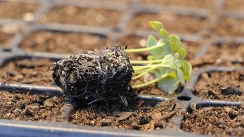 овощи рассадой-3