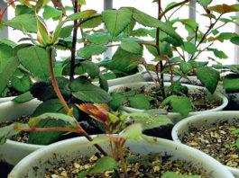 выращивание розы из семян