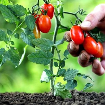 низкорослые томаты-3