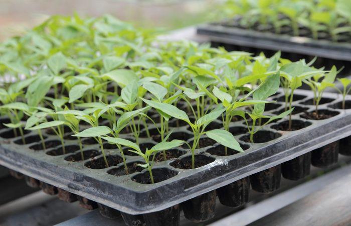 уход за рассадой овощных культур