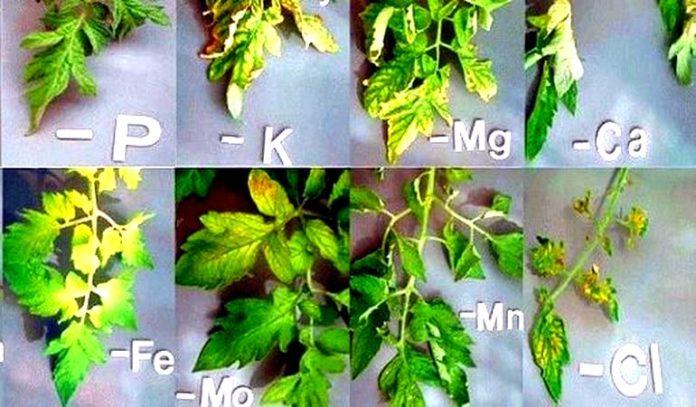 дефицит микроэлементов у томатов