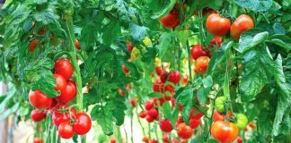 Фитофтора на помидорах как бороться