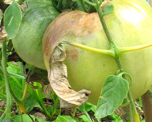 признаки фитофторы на томатах-пятна на листьях помидоров