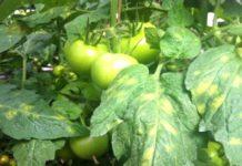 Пятна на листьях помидоров