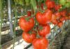 удалять листья у помидоров