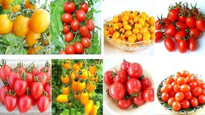 лучшие сорта томатов таблица