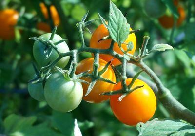 помидоры на кусту