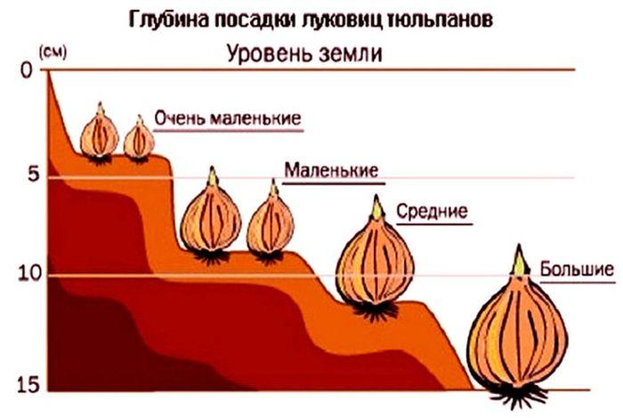 посадка луковиц тюльпанов
