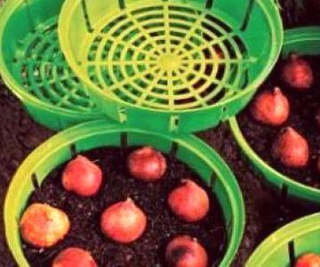 посадка тюльпанов в корзинки