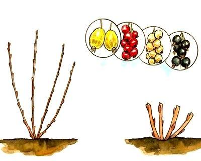 омолаживающая обрезка ягодных кустов
