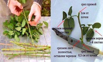 размножение роз способы
