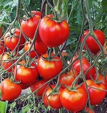 томат Алпатьева 950А