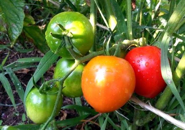 томат каштанка