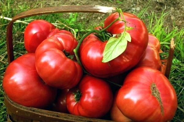 томат малиновый гигант