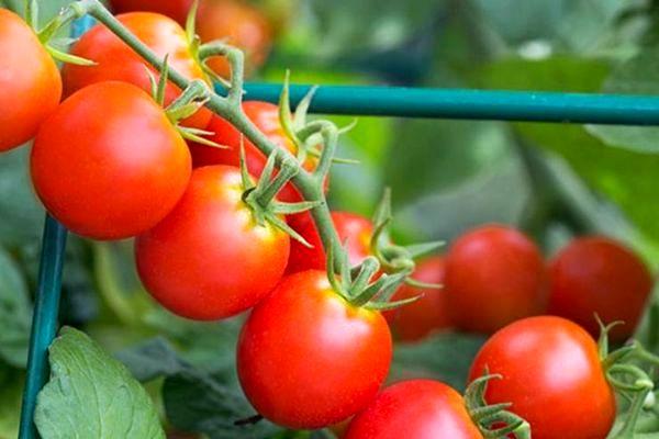 томат цыган