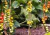 томаты для открытого грунта