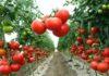 томаты для теплиц из поликарбоната